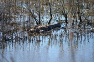 Gator Spotting at the Santee Coastal Reserve
