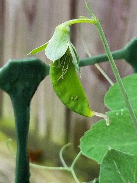 Starting a Vegetable Garden_ Harvest Wisdom and Consider Any Food a Bonus Charleston Moms